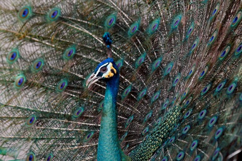 When it comes to peacock mating, plumage size matters: study