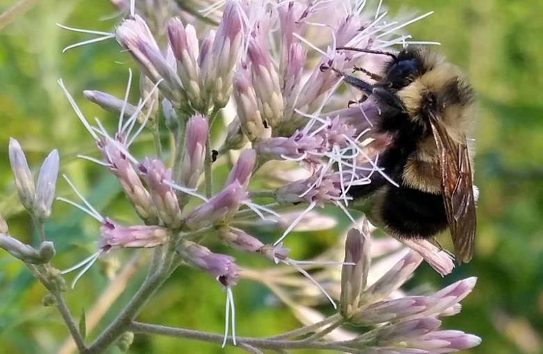 First U.S. bumble bee added to endangered species list