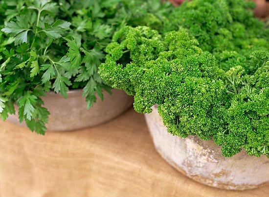 Quick and easy guide to growing french parsley for newbies
