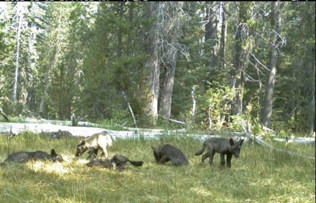 Wildlife officials verify first wolf sighting in Nevada in 95 years