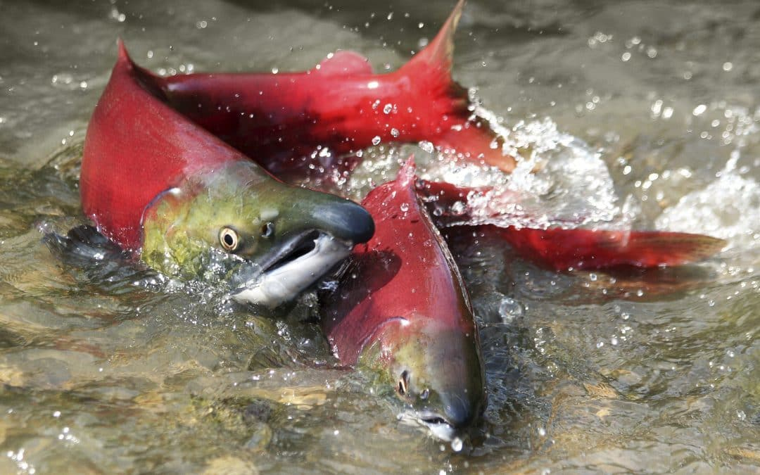 COLLAPSE: Hundreds of millions of Pacific salmon presumed dead as fish food sources collapse