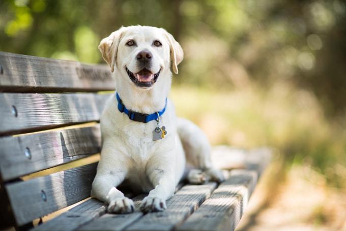 Labrador retriever still leads the pack of most popular U.S. dogs