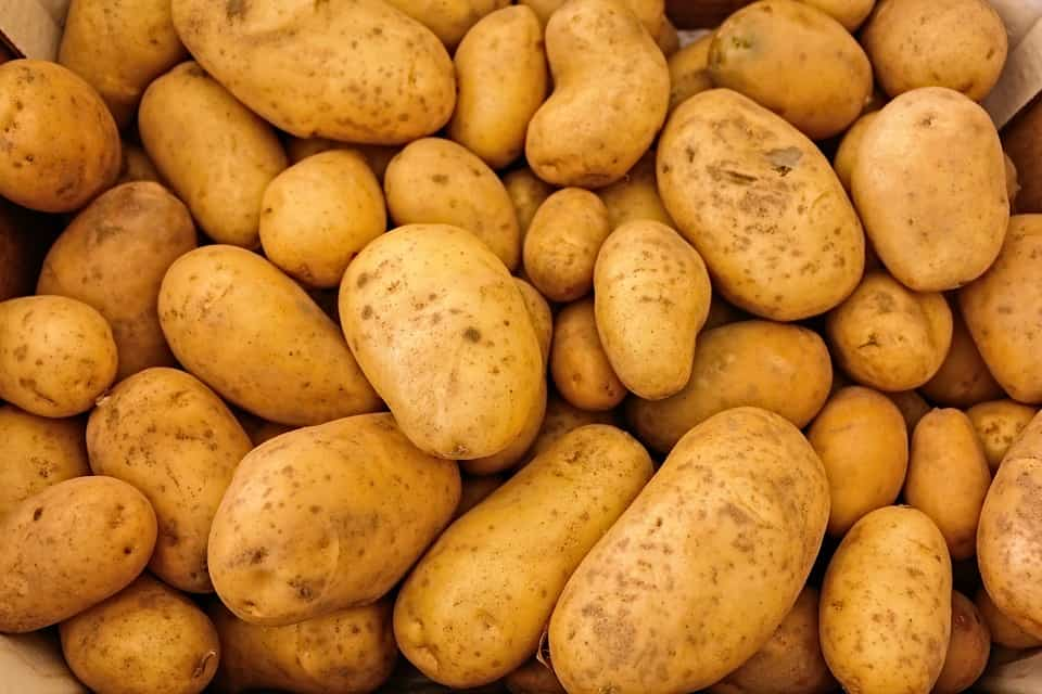 EPA and FDA give go ahead for 3 types of GMO potatoes… planting begins this year