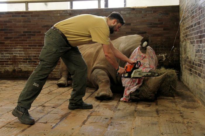 Czech zoo saws off rhino horns to thwart poachers