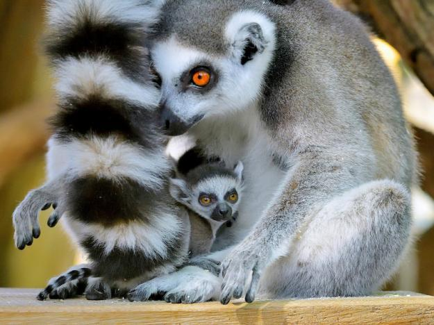 Twin baby ring-tailed lemurs latest addition to Vienna zoo