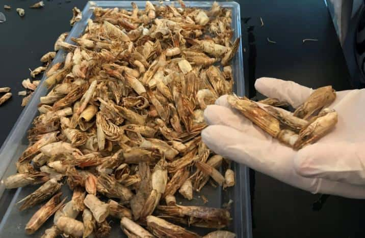 Egyptian researchers turn shrimp shells into biodegradable plastic