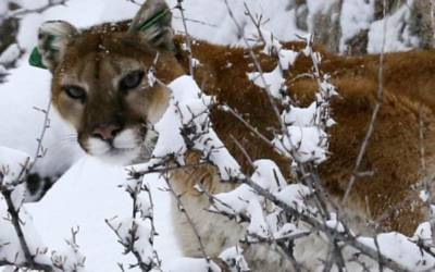 U.S. government sued over plan to kill cougars and bears in Colorado
