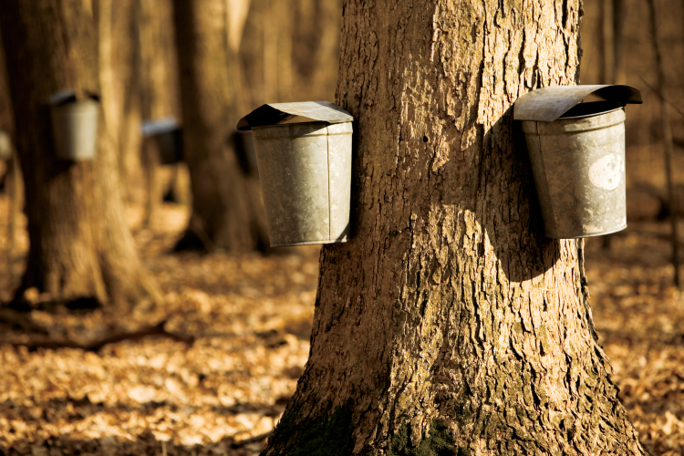 Tapping trees: How to get your own free syrup