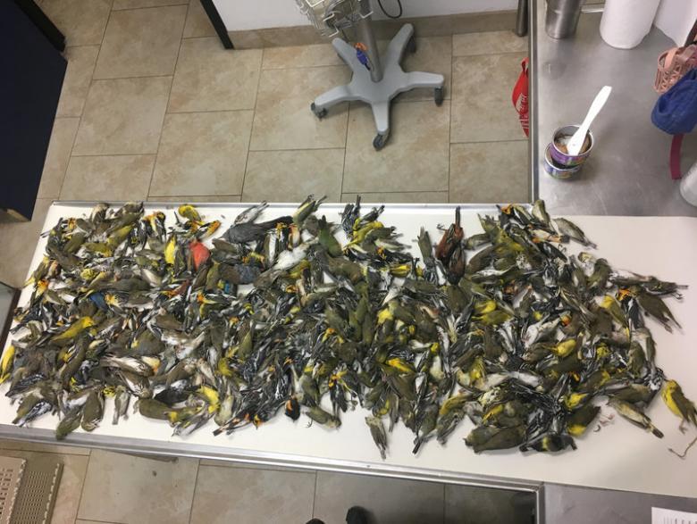 Nearly 400 migratory birds die from striking Texas skyscraper