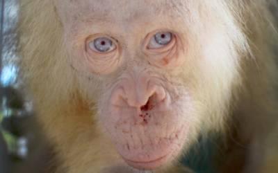 Health improving for rescued albino orangutan in Indonesia