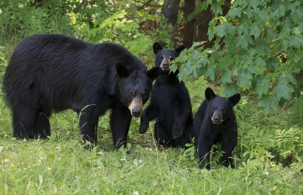 Nevada sheriff's deputy accidentally shoots mother bear