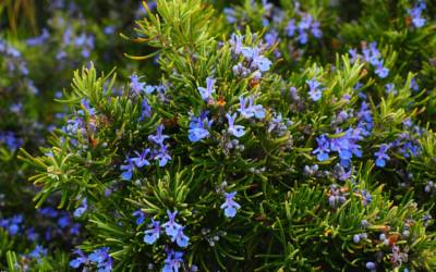 Rosemary is one of the easiest herbs to grow