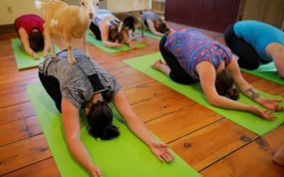 Downward-facing goat: Yoga trend draws flock to New Hampshire farm