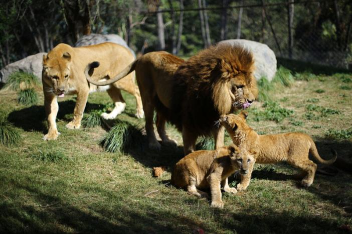Lion cubs born in Chile after world first veterinary procedure