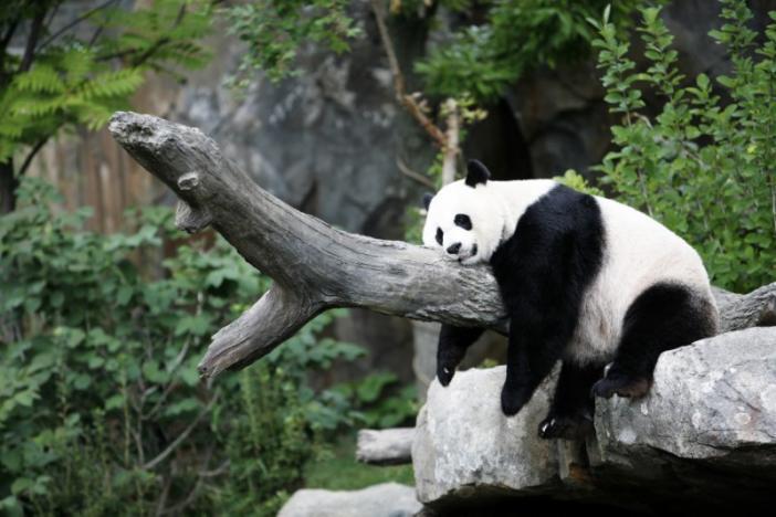 Fingers crossed! Washington zoo hopes to get panda pregnant again