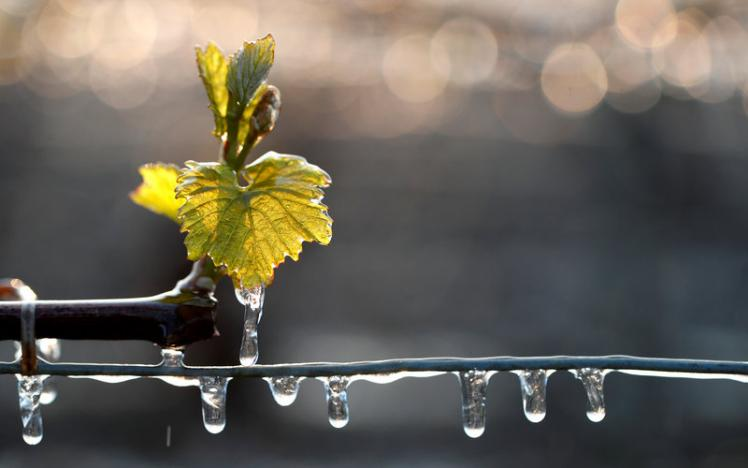 French Bordeaux vineyards could lose half of harvest due to frost