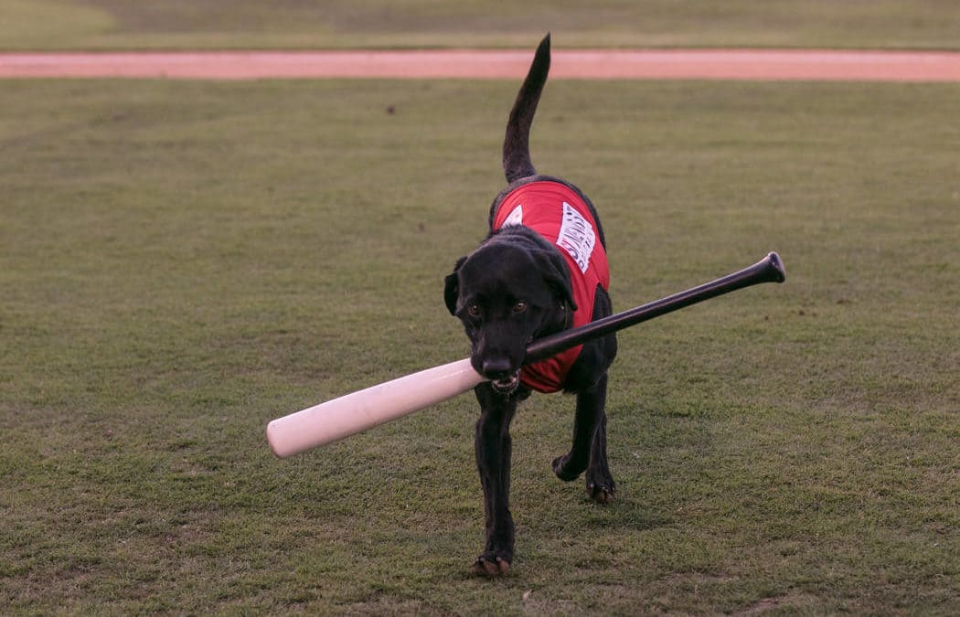 Las Vegas 51s bat dog Finn excites fans at Cashman Field
