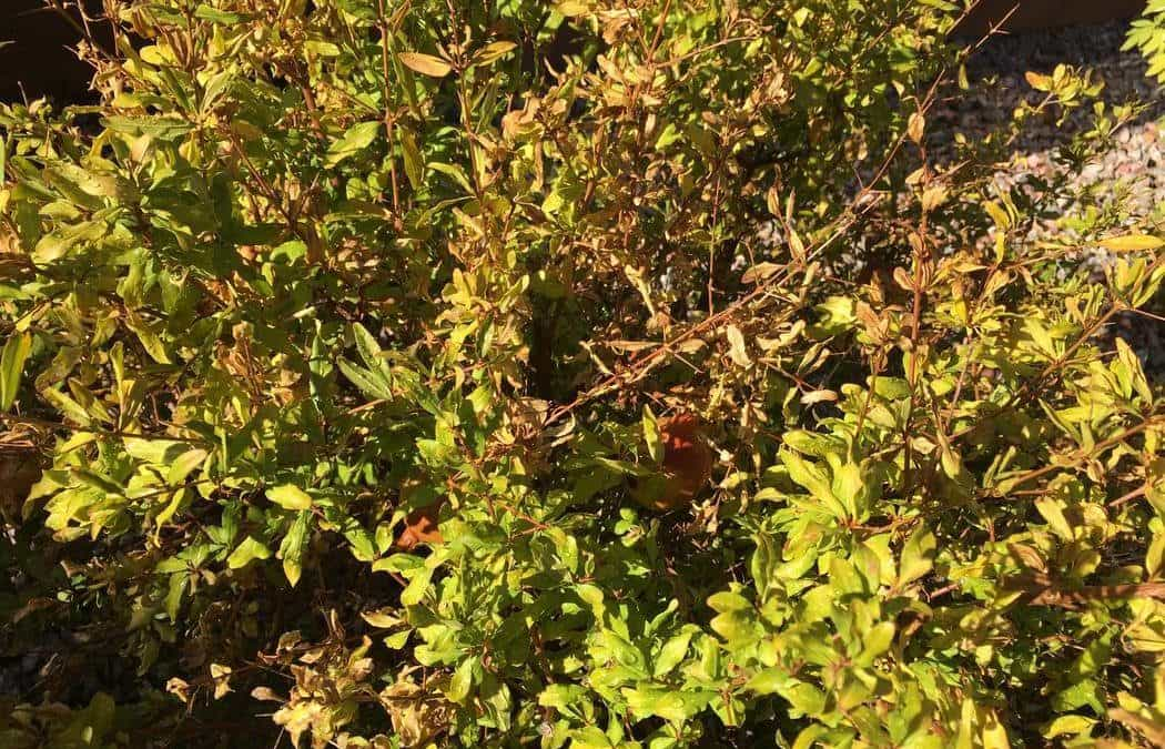 Pomegranate resilient in desert, but watch overwatering