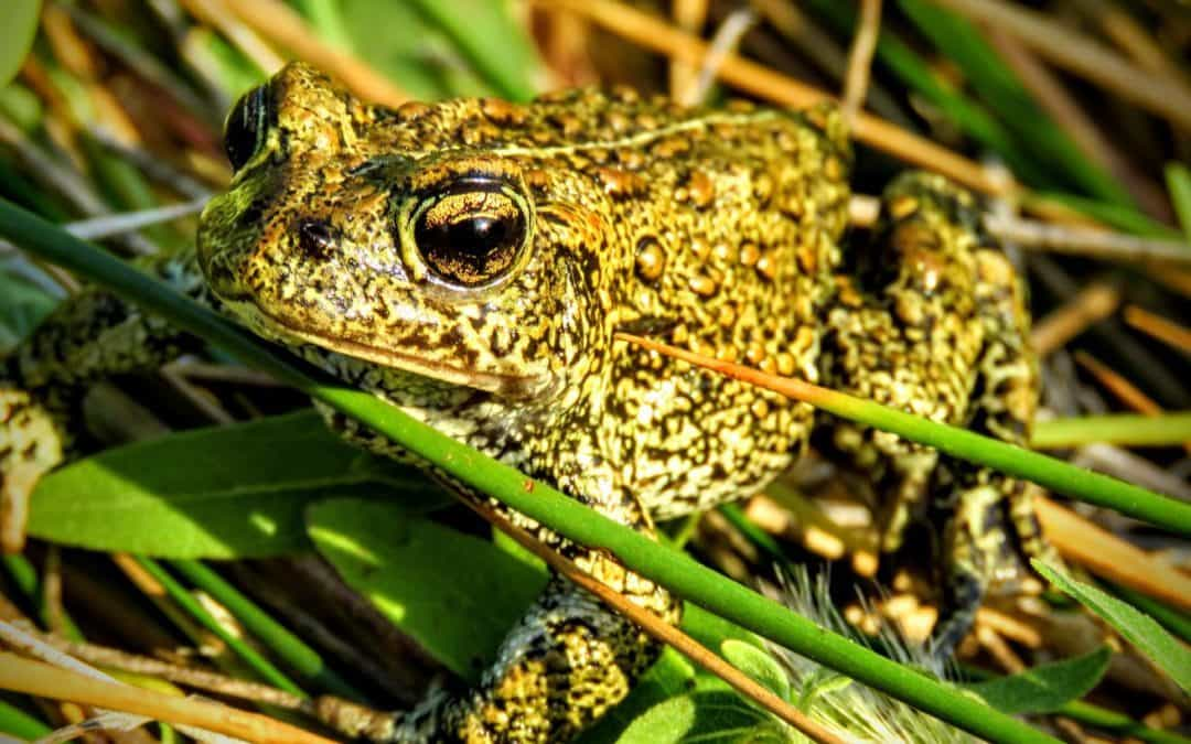 Newly discovered toad species in Nevada already under threat