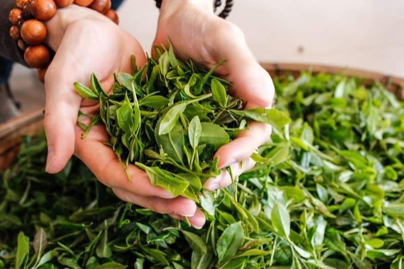 Green tea nutrients found to successfully treat scars when used in a cream