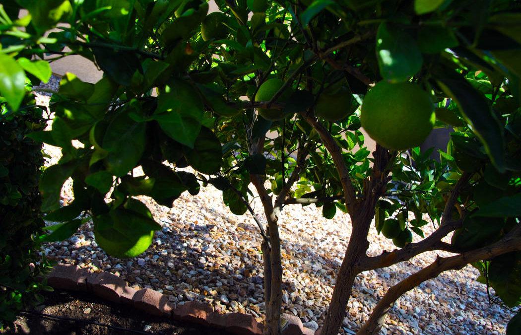 Harvest Meyer lemon tree in December or when fruit is sweet