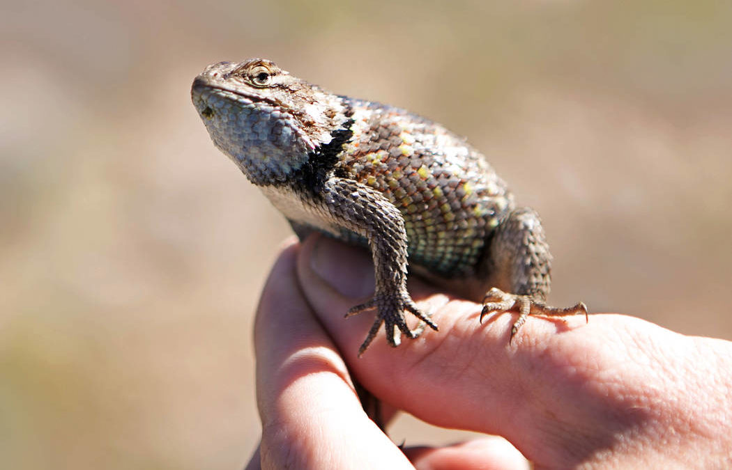 Officials consider commercial reptile collection ban in Nevada