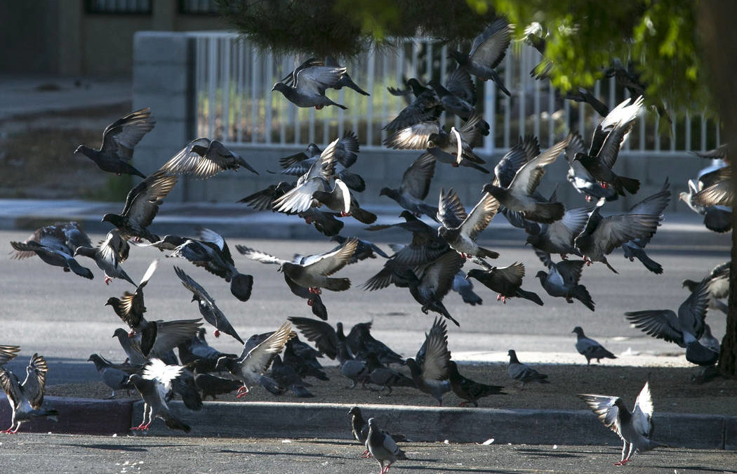 Pigeon poop a serious problem for Clark County Commission
