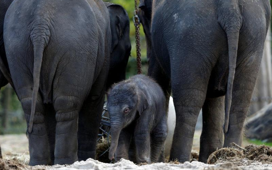 It's a boy! Belgian zoo delighted at Asian elephant's birth