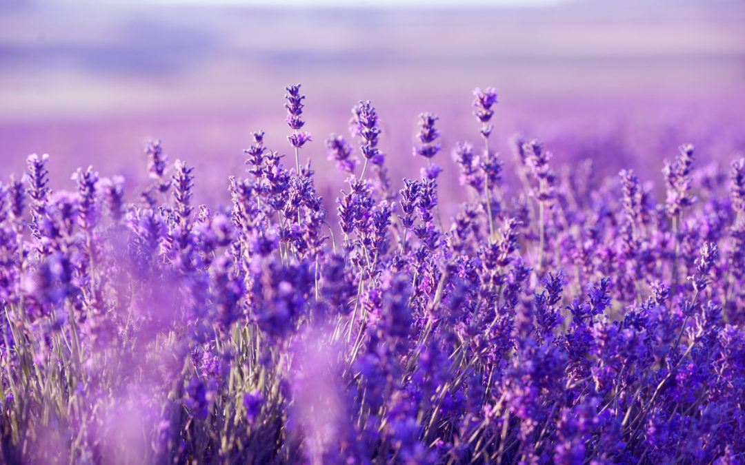 Why lavender is the most important essential oil to use right now