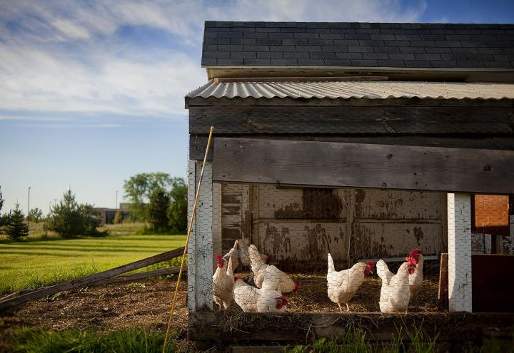 6 Features your chicken coop must have