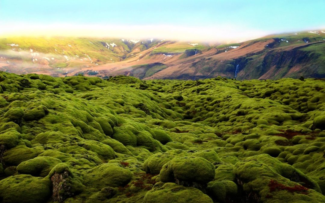 Yet another highly effective herb for sore throats: Icelandic moss is full of nutrients and has been used for eons