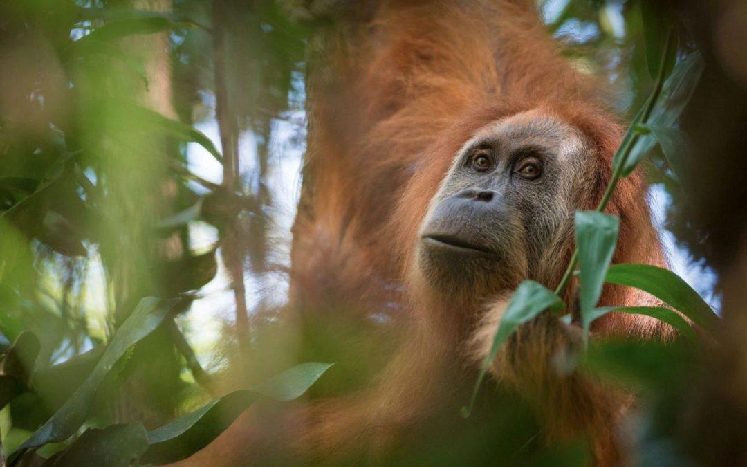 Going ape: new orangutan species identified in Sumatra