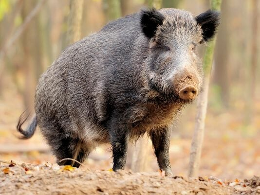 Wildlife Services Surpassed 2017 Goal for Elimination of Feral Swine