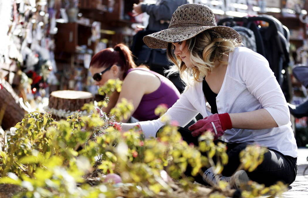 Las Vegas Healing Garden Gets a Daffodil Decoration