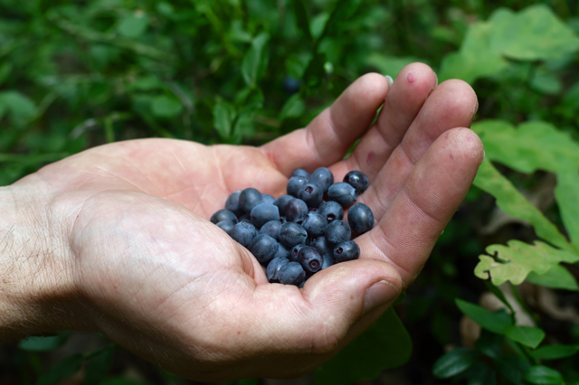 Foraging Wild Edibles: Berry Basics to Help Identify What's Safe and What Isn't