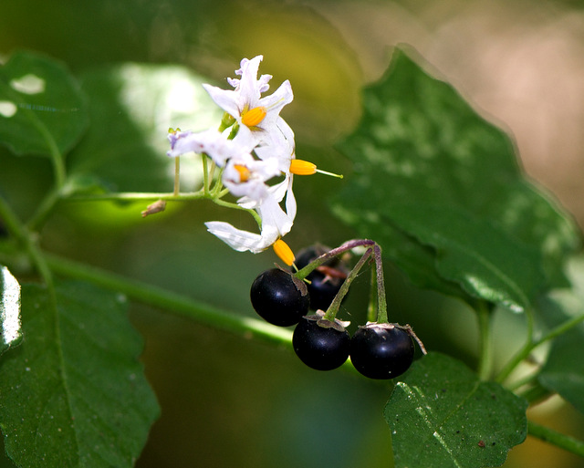 Scientific Analysis of the Health Benefits of Digestive Pills Made from Black Nightshade