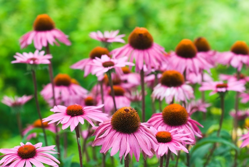 8 Uses for Echinacea Backed by Science