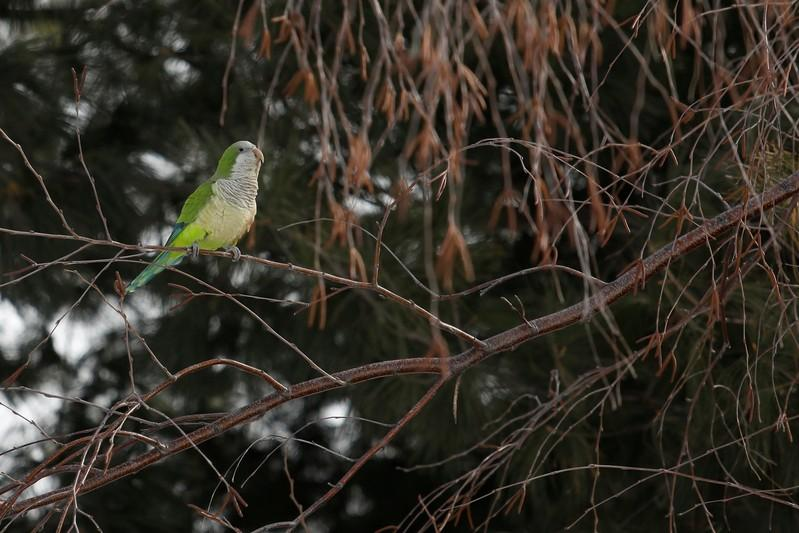 Parrots, nesting in peace, attract New York cemetery visitors