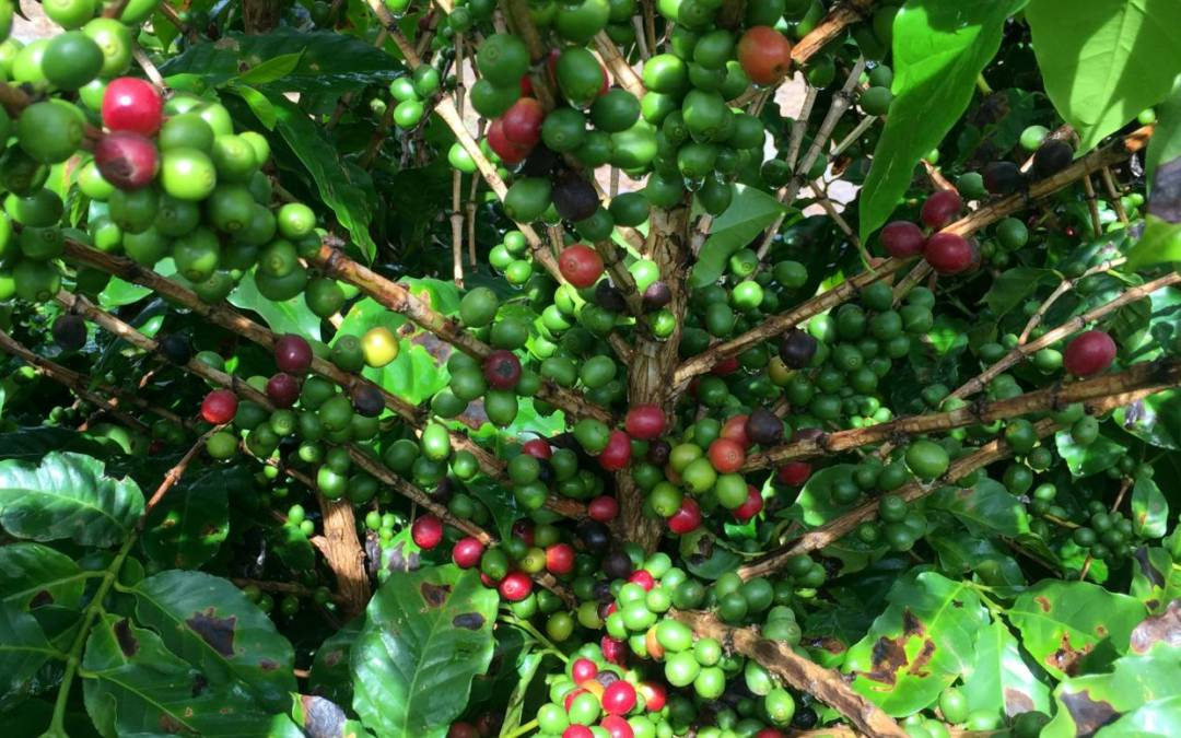 Coffee industry worried U.S. ruling on cancer warning may widen