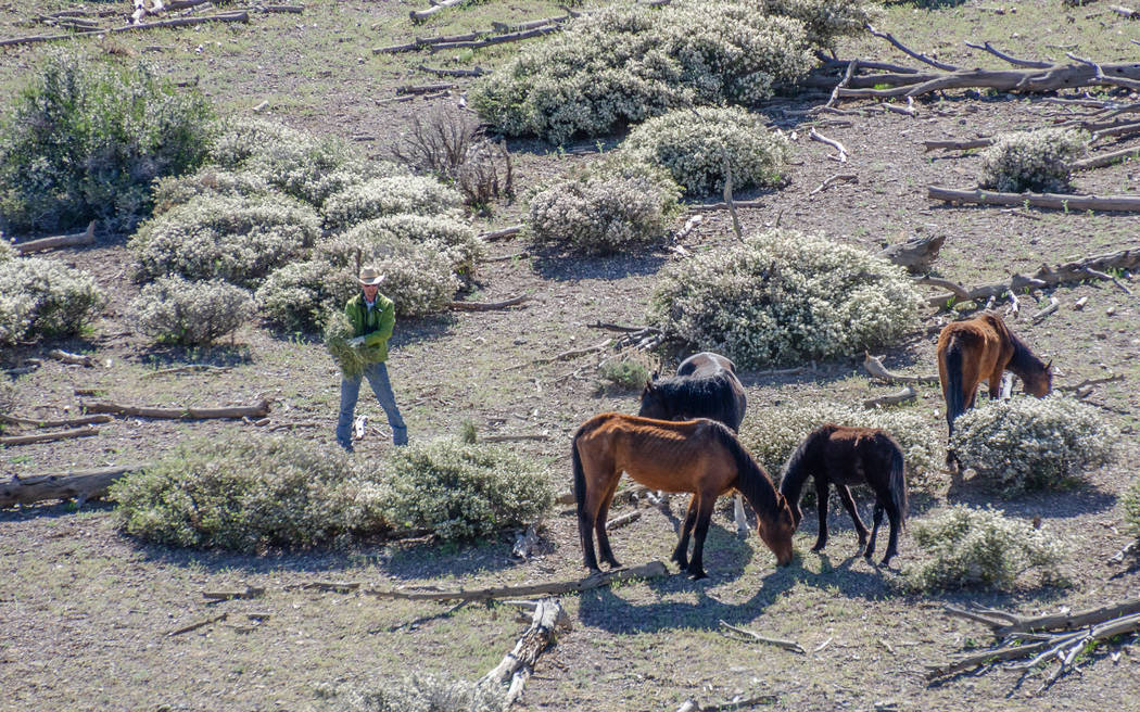 Roundup nets 148 wild horses in mountains west of Las Vegas