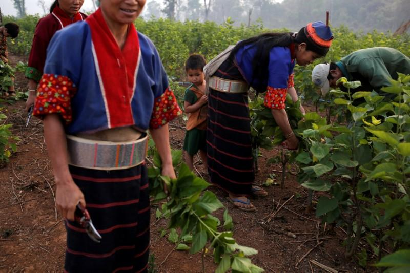 Myanmar hills embrace silkworms over poppies