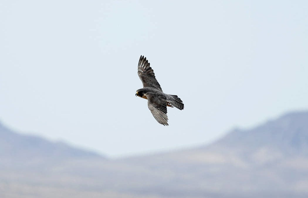 Peregrine falcons soaring again at Lake Mead