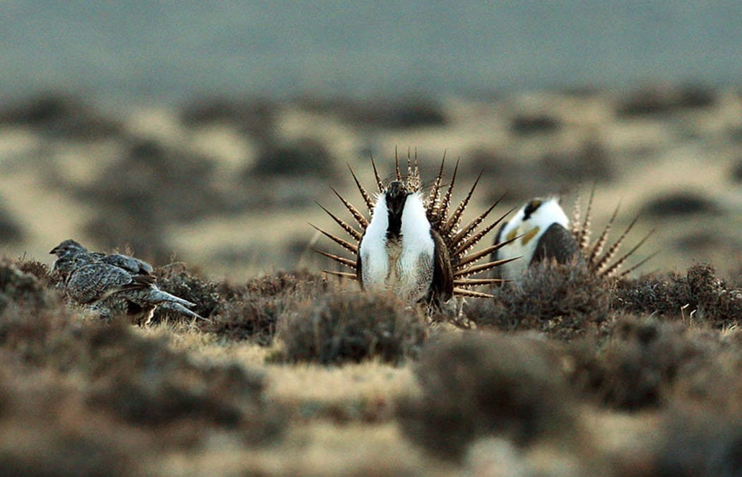 Forest Service plans to roll back sage grouse protections