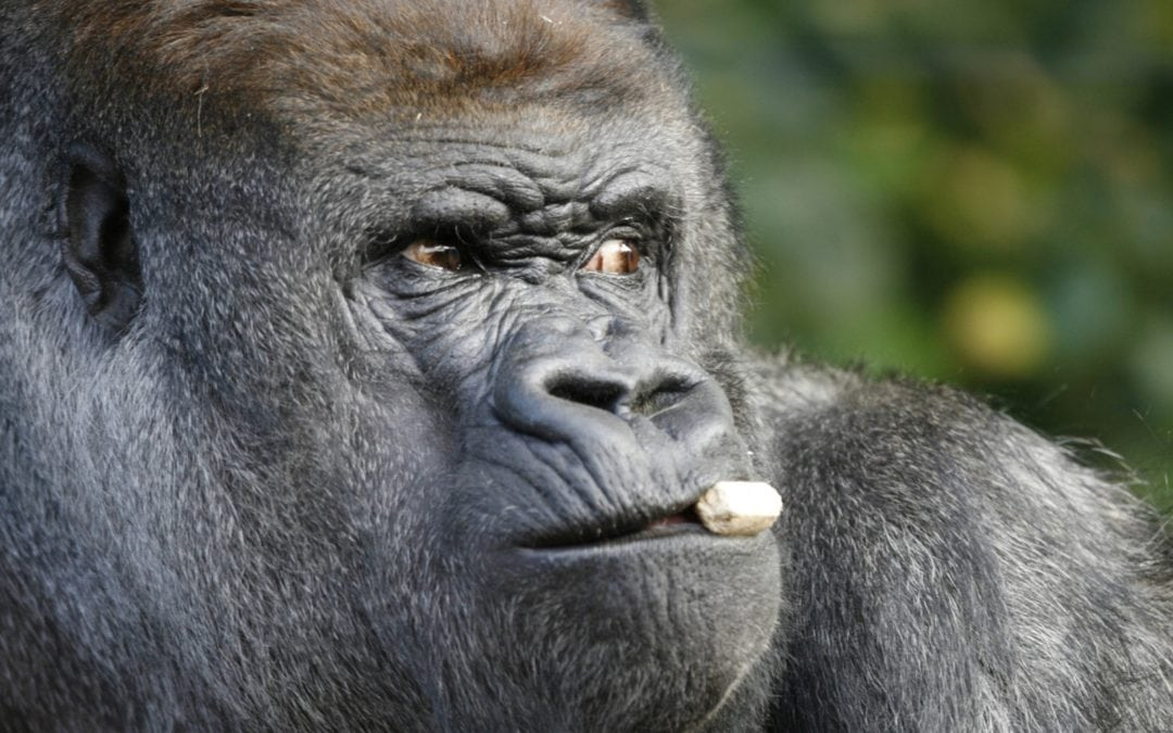 Koko, gorilla who used sign language, dies in California