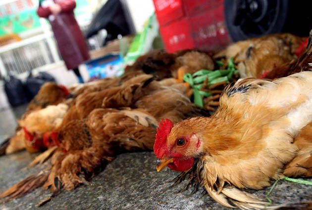 'DISEASE X': New strain of bird flu kills over a THIRD of those who contract it