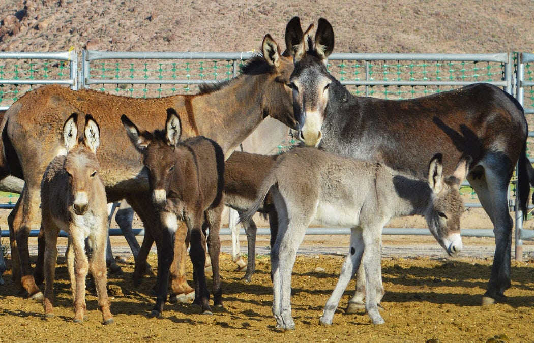 Beatty's burros both an Old West symbol and a problem