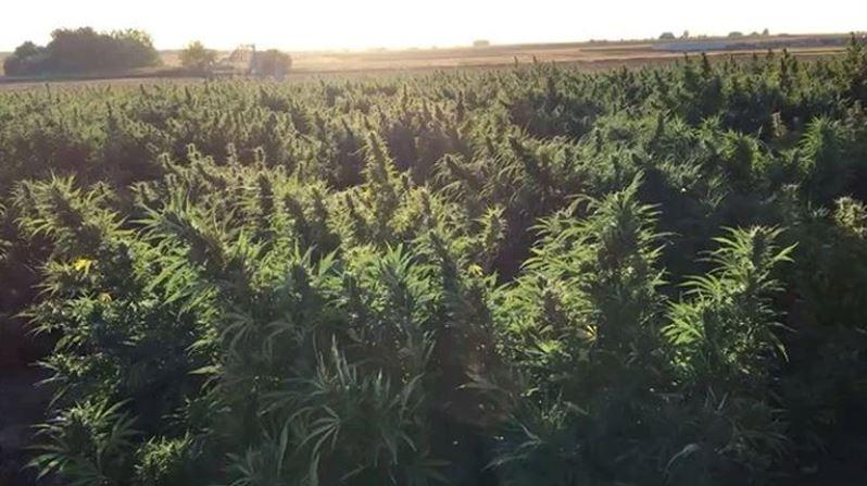 ODAFF Explains The Industrial Hemp Pilot Program In Relation To The New Farm Bill