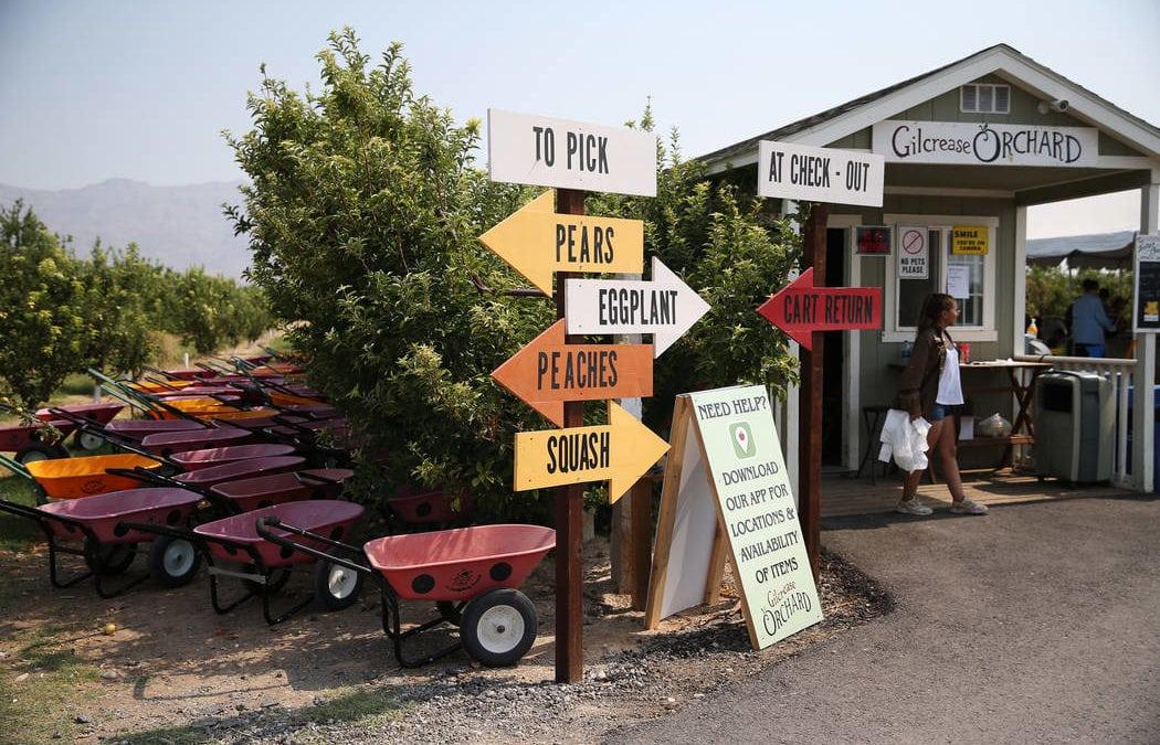 Fresh produce fans enjoy visits to northwest Las Vegas orchard