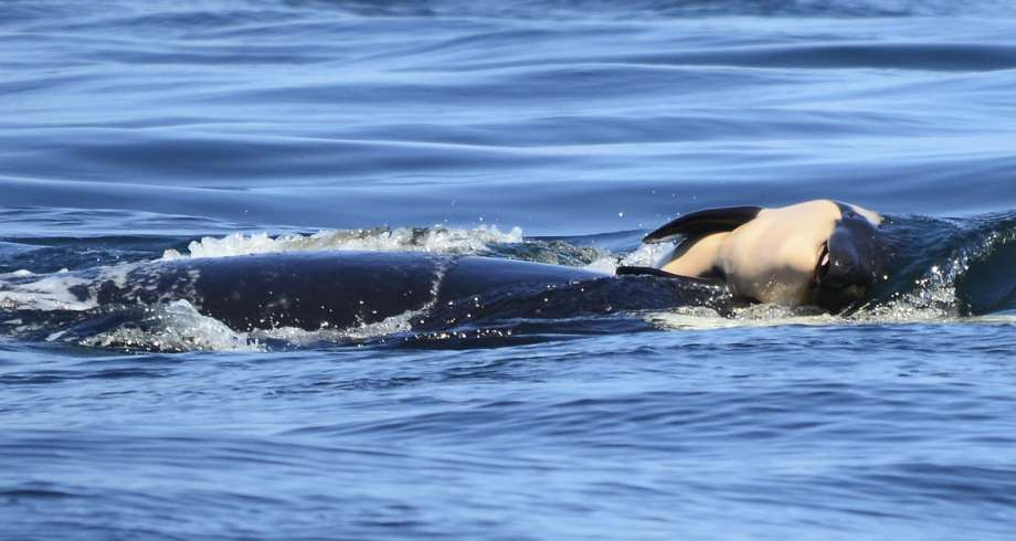 The stunning, devastating, weekslong journey of an orca and her dead calf
