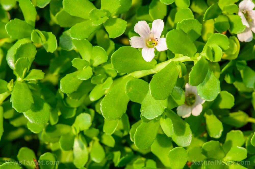 Take bacopa every day to boost mental clarity